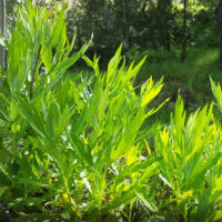 buy wild harvested mugwort